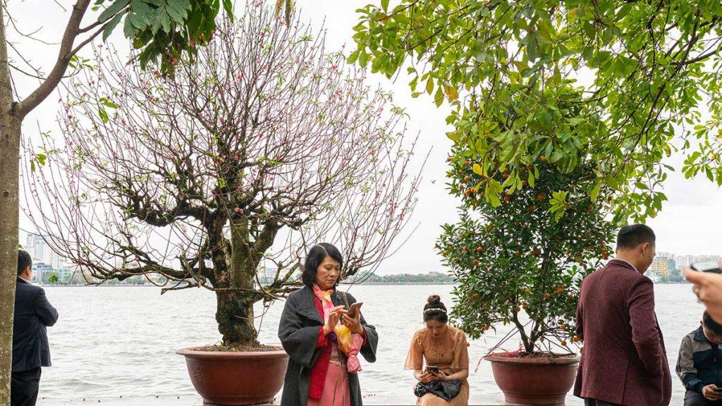 Kumquat Sring Blossom Hanoi Tet