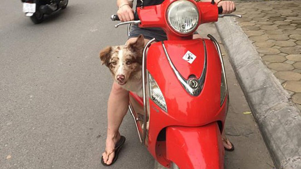Dog On Scooter In Hanoi