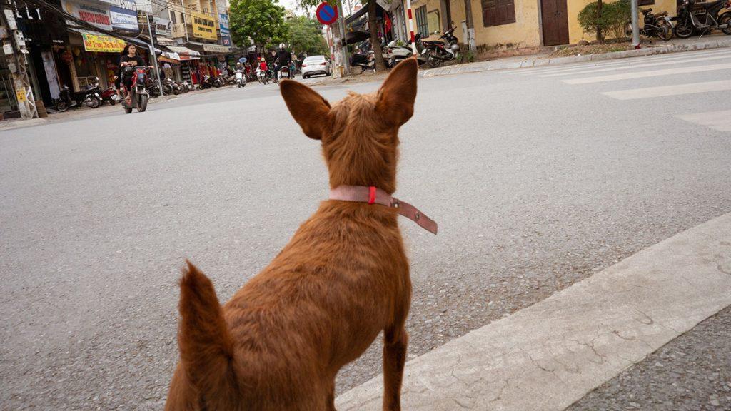 Dog On Street Hanoi