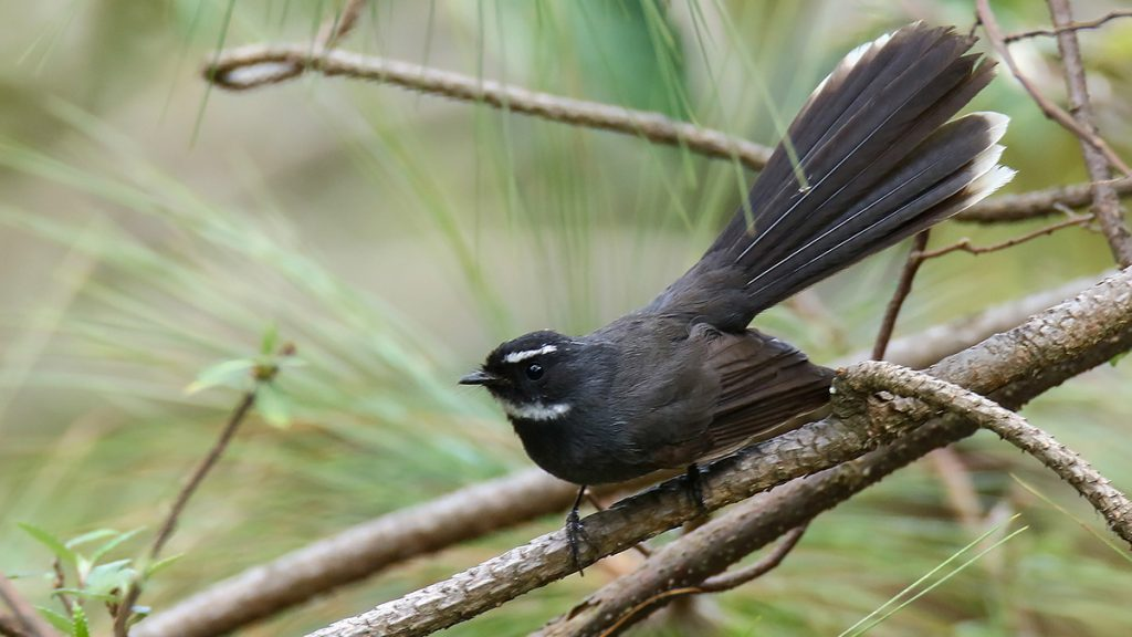 White Throated Fantail Vietnam