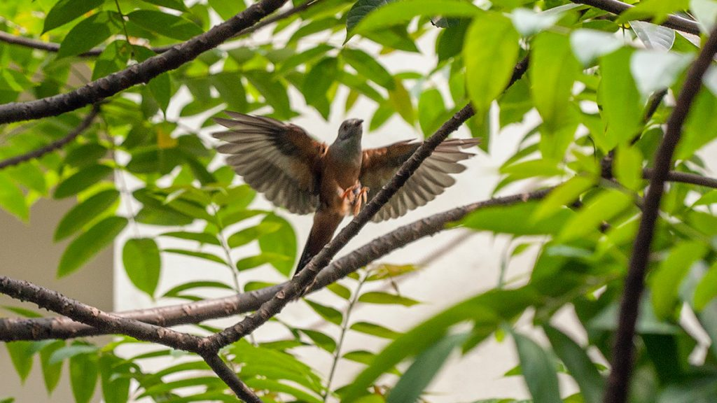 Plaintive Cuckoo Hanoi Vietnam