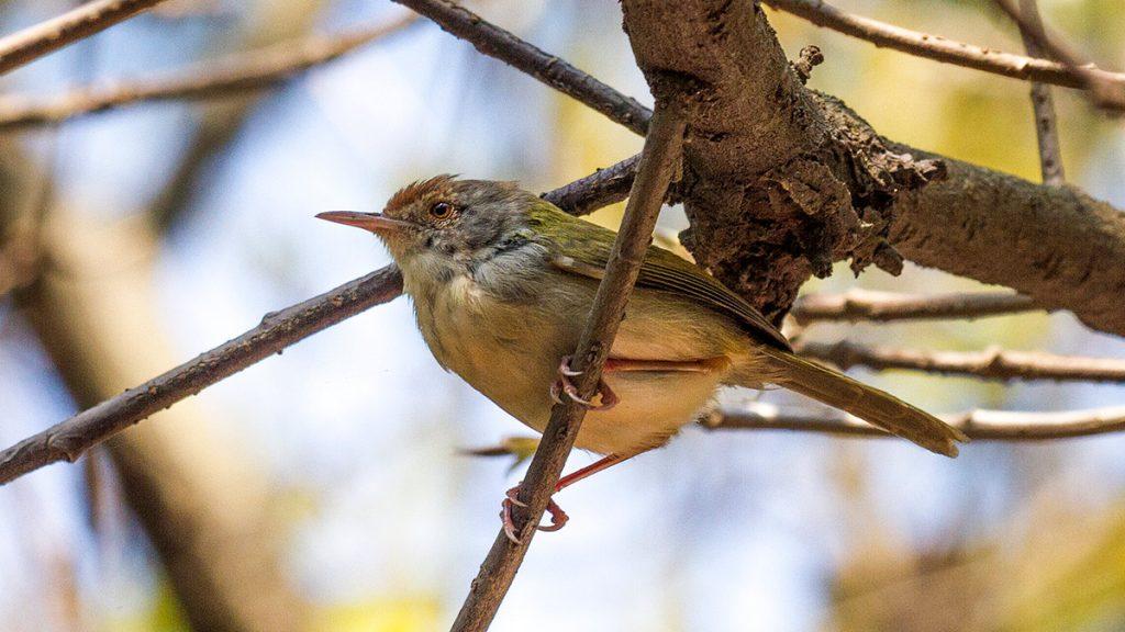 Common Tailorbird Vietnam