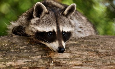 Raccoon 3538081 1280