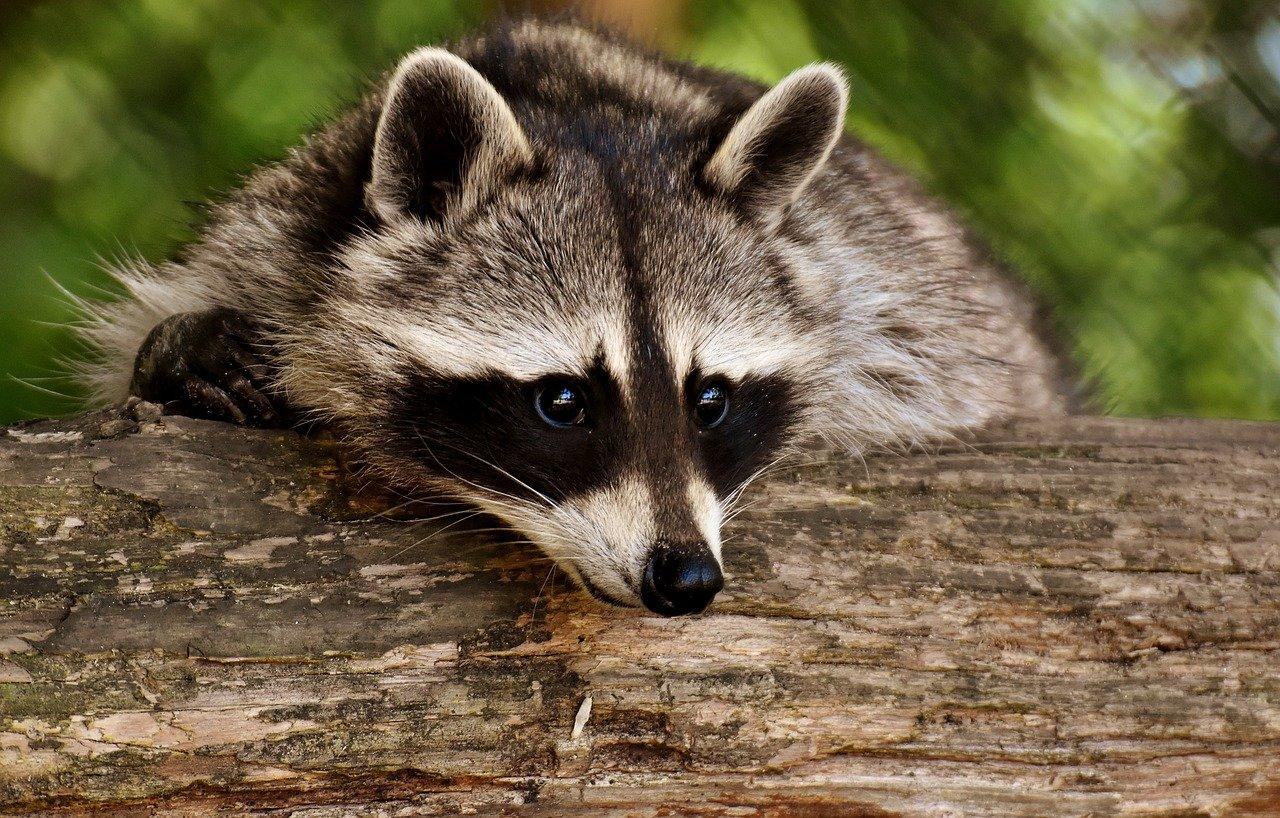 Raccoon 3538081 1280